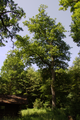 Gemuenden Ehringshausen Feldatal Quercus robur s.png