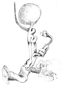 Oval bursa copulatrix, connected with atrial diverticulum with atrium; fine tubular epiphallus; sketch of surrounding spermoviduct