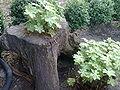 Geranium macrorrhizum Bulgaria.jpg