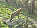 Gevlekte hyena (1).JPG