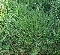 Gewoon struisgras Agrostis tenuis