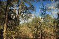 Gfp-florida-big-shaols-state-park-tree-view.jpg