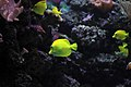Gfp-yellow-angelfish.jpg