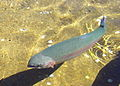 Giant Springs Trout15.JPG