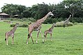 Giraffe (22850761495).jpg