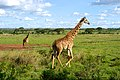 Giraffes Run in a Field in Nairobi National Park (16735526934).jpg