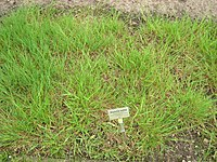 Glyceria notata - Berlin Botanical Garden - IMG 8547.JPG
