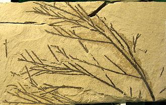 Glyptostrobus - Glyptostrobus sp. foliage, 49 mya, Washington, USA