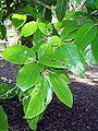 Gmelina fascicularis leaves.jpg