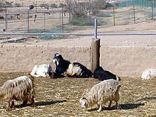 Goat herd revivim.jpg