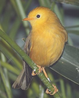 Golden White Eye 12.jpg