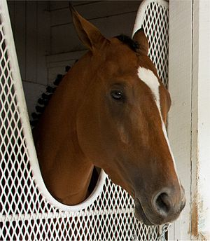 Goldencents - Goldencents before the 2013 Preakness Stakes.