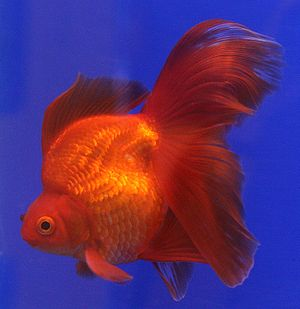 "A Ryukin goldfish from The 6th ""Pramong N..."
