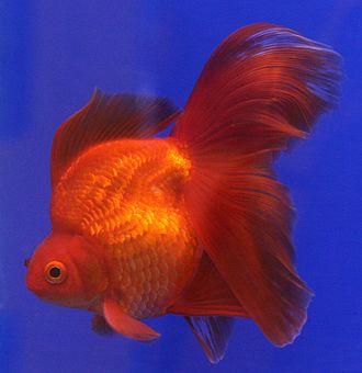 Ryukin - Image: Goldfish Ryukin