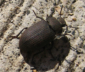 "A Gonocephalum ""Darkling beetle"" viewed from above"