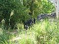 Gorilla, Kilimanjaro Safaris 1.JPG
