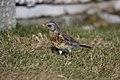 Gråtrost (Turdus pilaris) Fieldfare.jpg