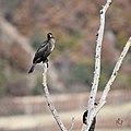 Grand cormoran (50661647007).jpg