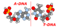 Graphic of ADNA bonded to TDNA.png