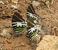 Graphium antiphates - Five-bar Swordtail 01.jpg