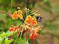 Grass Demon Udaspes folus nectaring by Dr. Raju Kasambe DSCN1591 (9).jpg