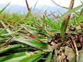 Grass in himachal.jpg
