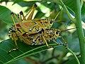 GrasshopperLubber101 Asit.jpg