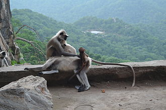 Wildlife of India - The Hanuman langur with newborn. At least seven species of grey langurs are found in India out of which five are endemic.
