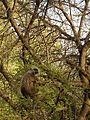 Gray Langur DSCN2497.jpg