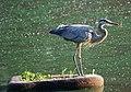 Great Blue Heron (4854747595).jpg
