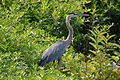 Great Blue Heron (5899162160).jpg