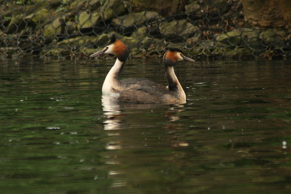 Great Crested Grebe Podiceps cristatus courtship display by Raju Kasambe 21