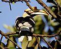 Great Hornbill, Buceros bicornis - Female - Flickr - Lip Kee (1).jpg