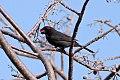 Greater Antillean Bullfinch (Loxigilla violacea) (8082760704).jpg