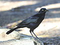 Greater Antillean Grackle RWD3.jpg