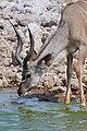 Greater Kudu Head 2019-07-25.jpg