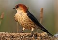 Greater Striped Swallow, Hirundo cucullata (syn. Cecropis cucullata), at Marievale Nature Reserve, Gauteng, South Africa (30506288735).jpg