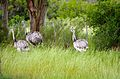 Greater rheas (Rhea americana).jpg
