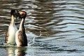 Grebe Courtship - Harrold Country Park - Explored --) (13031786113).jpg
