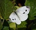Green-veined white. Pieris napi (27925027489).jpg