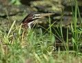 Green Heron (juvenile) (34770627164).jpg