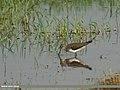 Green Sandpiper (Tringa ochropus) (33645855653).jpg