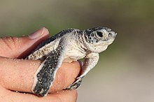 Green Sea Turtle (6215133128).jpg