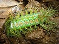 Green caterpillar with big spines in Laos.jpg