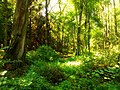 Green forest - Flickr - Stiller Beobachter.jpg