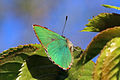 Green hairstreak (Callophrys rubi) 2.jpg
