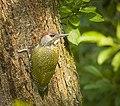 Green woodpecker (43453267115).jpg