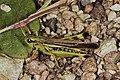 Gresshopper (Saltatoria) (5001625748).jpg
