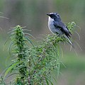Grey Bush Chat (36879498704).jpg