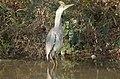 Grey Heron - アオサギ - panoramio.jpg